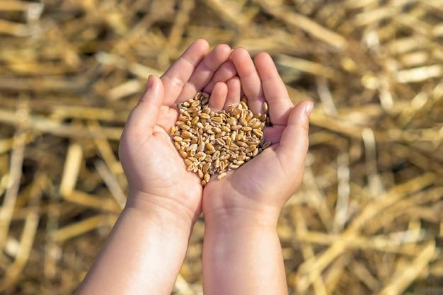 Ziarna pszenicy w rękach dziecka na tle pola pszennego