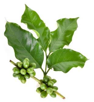 Ziarna zielonej kawy na białym tle
