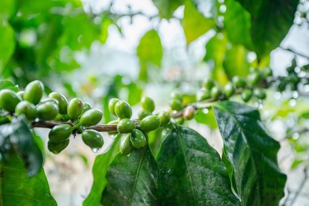 Ziarno kawy na drzewie