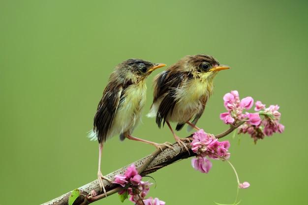 Zibaby zitting ptaszek cisticola czeka na jedzenie od matkującego ptaszka cisticola na gałęzi