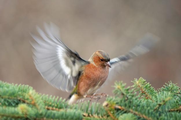 Zięba, fringilla coelebs, ptak w locie. mężczyzna.