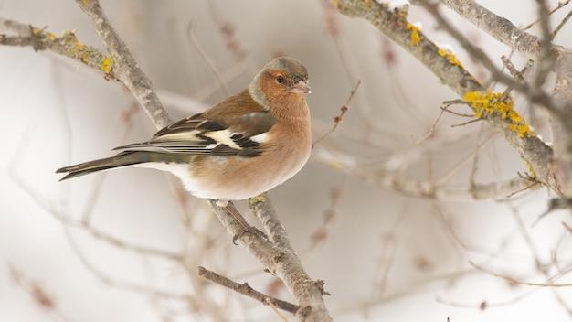Zięba, fringilla coelebs siedzi na gałęzi drzewa w zimowym lesie.