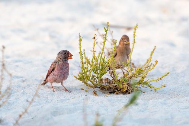 Zięba trębacz stojący na piasku, jedzący nasiona