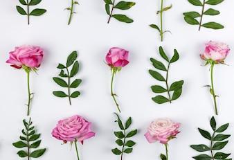 Zieleń liście i różowe róże układali nad biały tło