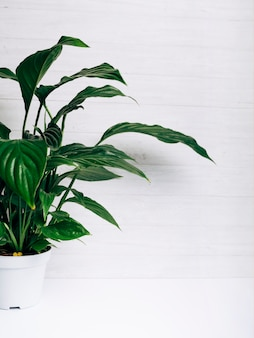 Zieleń liści roślina w białym garnku przeciw białemu tłu