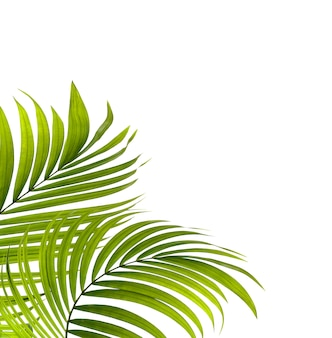 Zieleń liście drzewko palmowe na białym tle