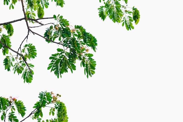 Zieleń liście na odosobnionym białym tle