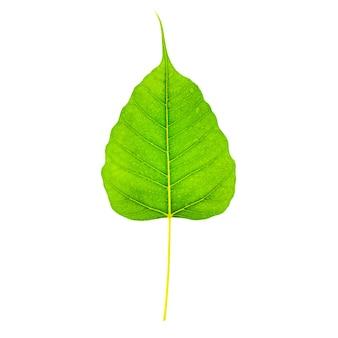 Zieleń liście odizolowywający na białym tle