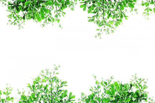 Zieleń liście terminalia ivorensis drzewo na białym tle.