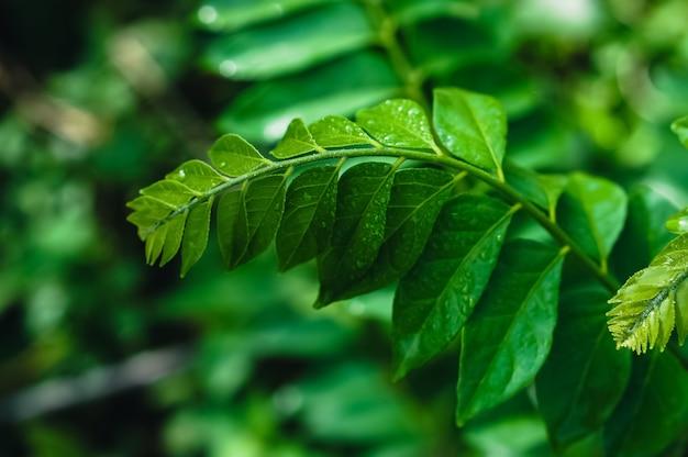Zieleń liście z kroplą rosy, świeży wiosny natury tapety tło