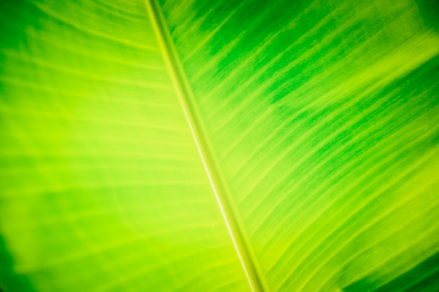 Zieleni Bananowi Liście Dla Tła Premium Zdjęcia