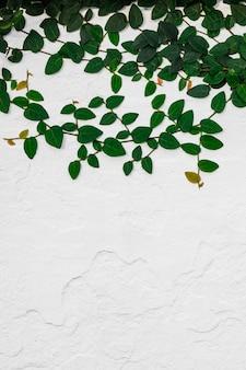 Zieleni bluszczy liście na cement ściany tle.