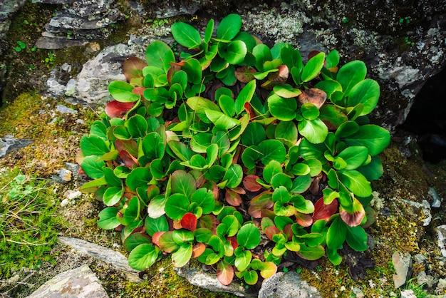 Zieleni i czerwoni liście bergenia crassifolia zamykają up. niesamowita roślina rośnie na skale z copyspace. bogata roślinność wyżynna. flora górska. szczegółowe naturalne tło. cudowna przyroda.