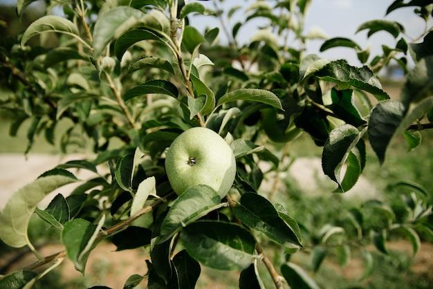 Zieleni jabłka na gałąź