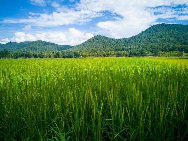 Zieleni ryż pola przy zboczem z niebieskim niebem.