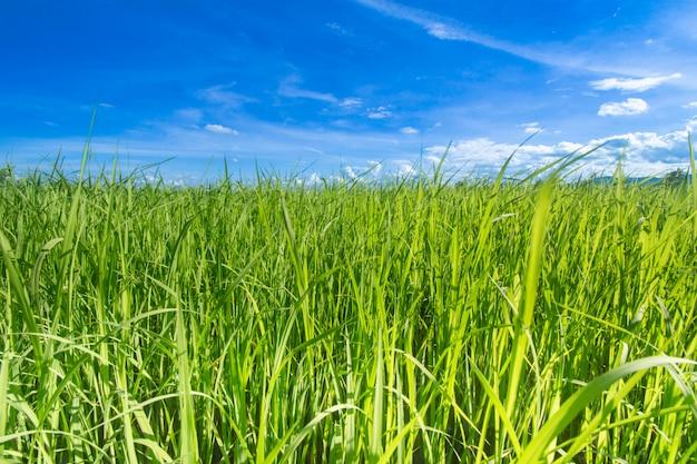 Zieleni ryż pola z niebieskim niebem chiang raja, tajlandia