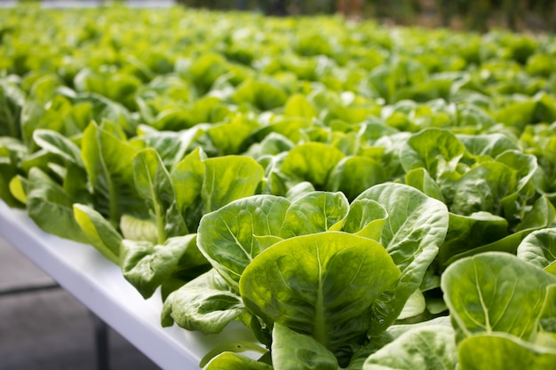 Zieleni sałat warzywa hydroponic z kopii przestrzenią, hydroponic warzywa