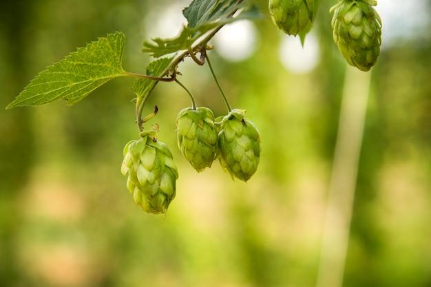 Zieleni świezi chmiel rożki dla robić piwnemu i chlebowemu zbliżeniu, rolniczy tło.