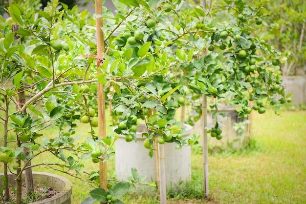 Zieleni wapno na drzewnym sadzeniu w cementowej drymbie uprawiają ziemię rolniczego