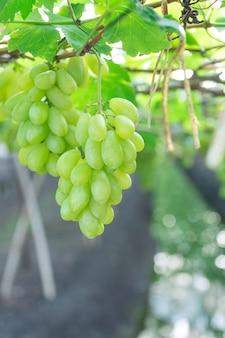 Zieleni winogrona wiesza na krzaku, damnoen saduk, ratchaburi prowincja. tajlandia