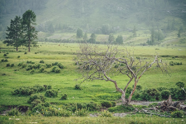 Zielona alpejska mglista sceneria z pięknym suchym drzewem z widokiem na wysoką ścianę górską z drzewami. vintage górski krajobraz z martwym drzewem wśród zielonych roślinności na tle zbocza góry we mgle.