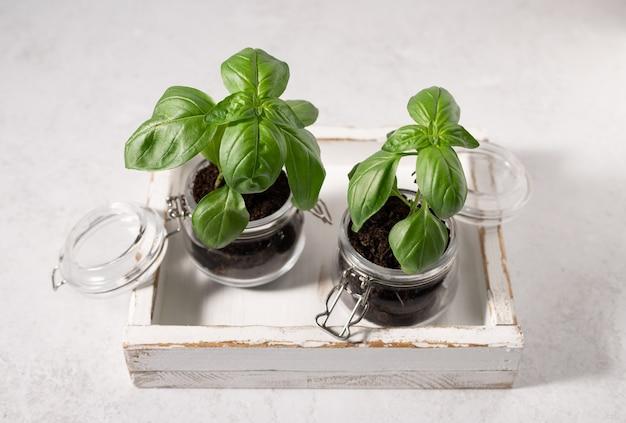Zielona bazylia świeże aromatyczne zioła domowe ogrodnictwo