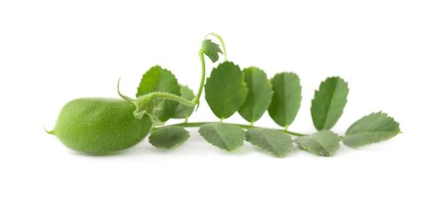 Zielona ciecierzyca na gałęzi na białym tle
