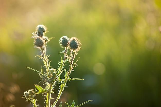 Zielona cierniowa trawa oset, natury tło