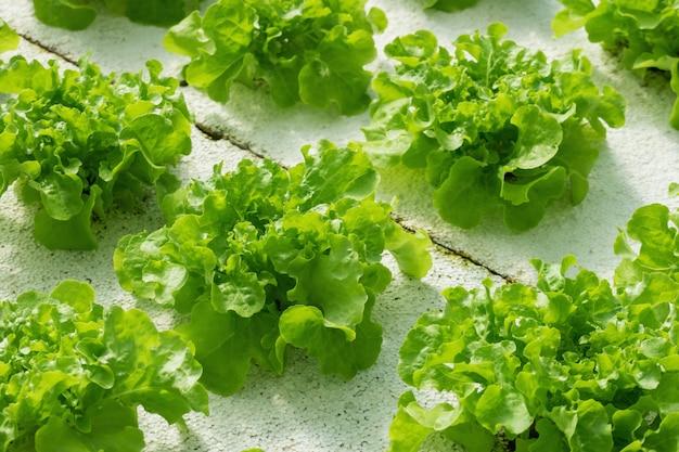Zielona dębowa sałaty sałatkowa roślina