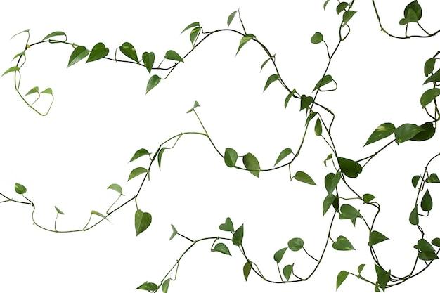 Zielona długa tkalnia na białym tle