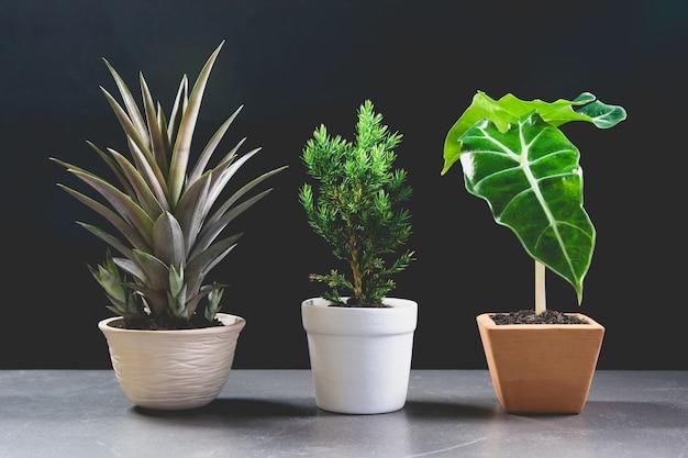 Zielona doniczkowa roślina, drzewa w garnku na stołowym i ciemnym tle.