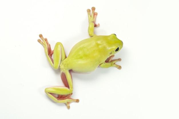 Zielona drzewna żaba na białym tle