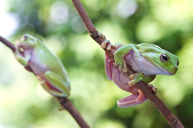 Zielona drzewna żaba na gałązce