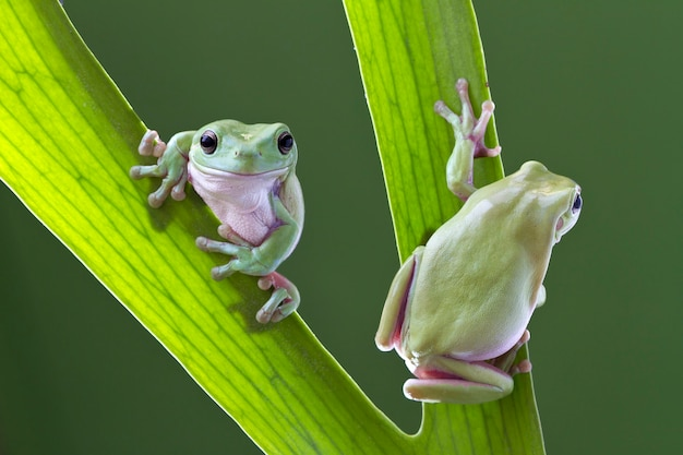 Zielona drzewna żaba na liściu