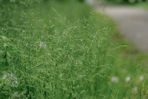 Zielona dzika trawa na uboczu. zbliżenie.
