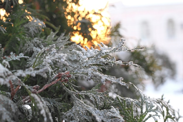 Zielona gałąź arborvitae w śniegu