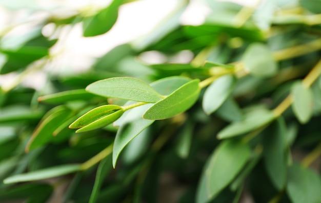 Zielona gałąź eukaliptusa, zbliżenie