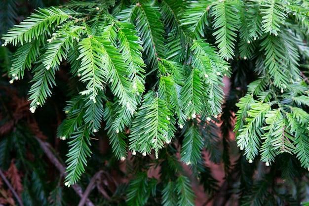 Zielona gałąź jodły naturalne tło lasu, gałąź drzewa iglastego z rodzącymi się szyszkami, wiosna