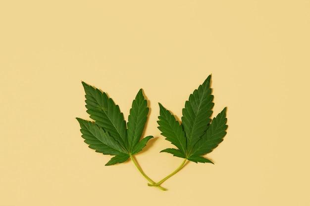 Zielona gałąź konopi sativa, cannabis indica, marihuana. neutralna beżowa przestrzeń