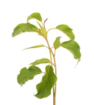 Zielona gałąź liści kiwi na białym tle