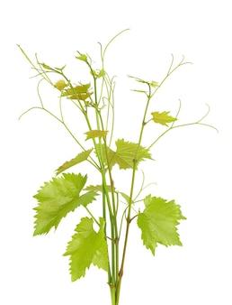 Zielona gałąź winorośli na białym tle. gałązka z liśćmi winorośli.