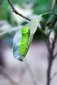 Zielona gąsienica jedząca liść cytryny z ogrodu