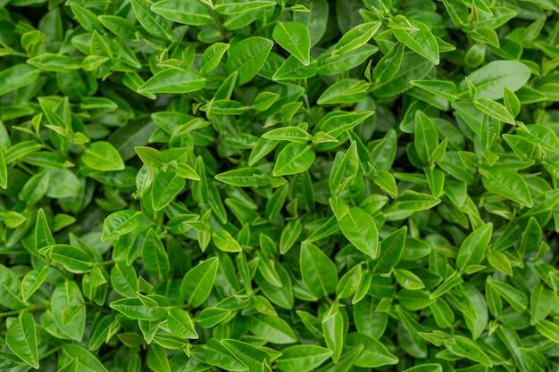 Zielona herbata liścia tło w herbacianych plantacjach.