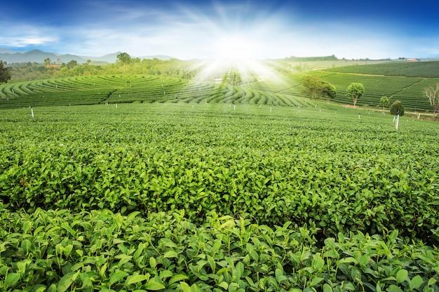 Zielona herbata ogródu krajobrazu zmierzchu wzgórza kultywacja
