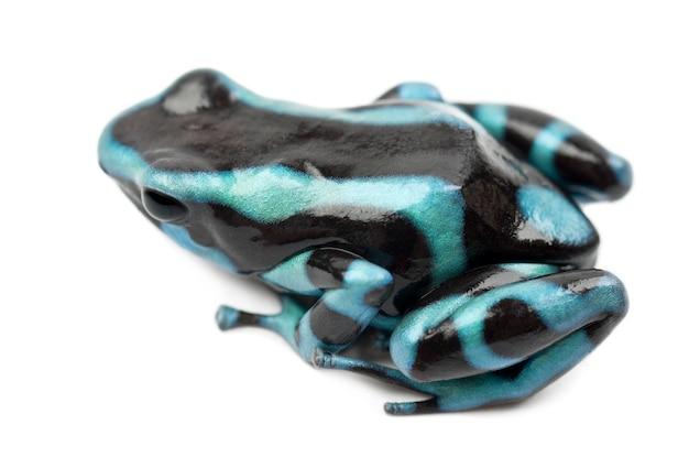 Zielona i czarna żaba z trującą strzałką lub zielona i czarna żaba z trującą strzałką, dendrobates auratus, na tle białej przestrzeni