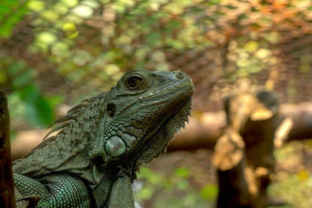 Zielona iguana w zoo