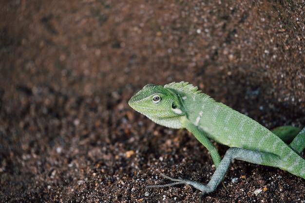 Zielona jaszczurka, głowa kameleona