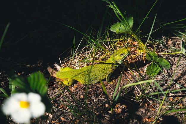 Zielona jaszczurka siedzi w trawie w ogródzie