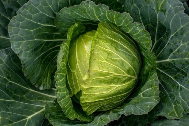 Zielona kapusta ekologiczna w gospodarstwie