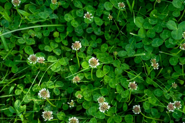 Zielona koniczyna z białymi kwiatami. obraz pola kwitnienia koniczyny.